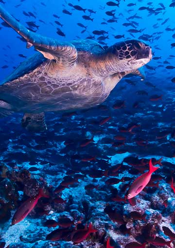 Sea turtle swims in clear turquoise water alongside school of fish
